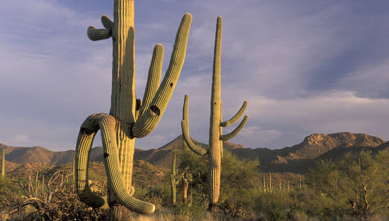 Saguaro National Park, Arizona.  © Christian Heeb